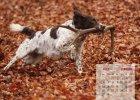 wachtelhund-kalender-02