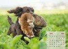 wachtelhund-kalender-juni
