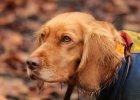 Roter_Wachtelhund