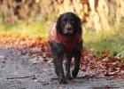 Wachtelhund-Fara-vom-Zellerberg