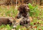 Wachtelhund-Rehbock