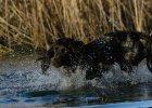 Wachtelhund-Wasserarbeit2