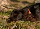 wachtelhund-portrait