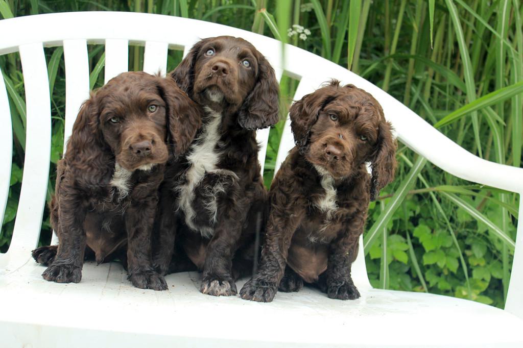 wachtelhundvermittlung verein f r deutsche wachtelhunde infos zum thema wachtelhund. Black Bedroom Furniture Sets. Home Design Ideas