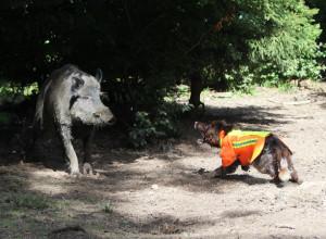 Wachtelhund und Keiler