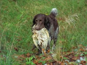 Wachtelhund apportiert Ente