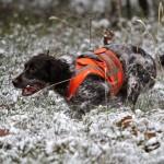 Wachtelhund beim Stöbern auf Schwarzwild