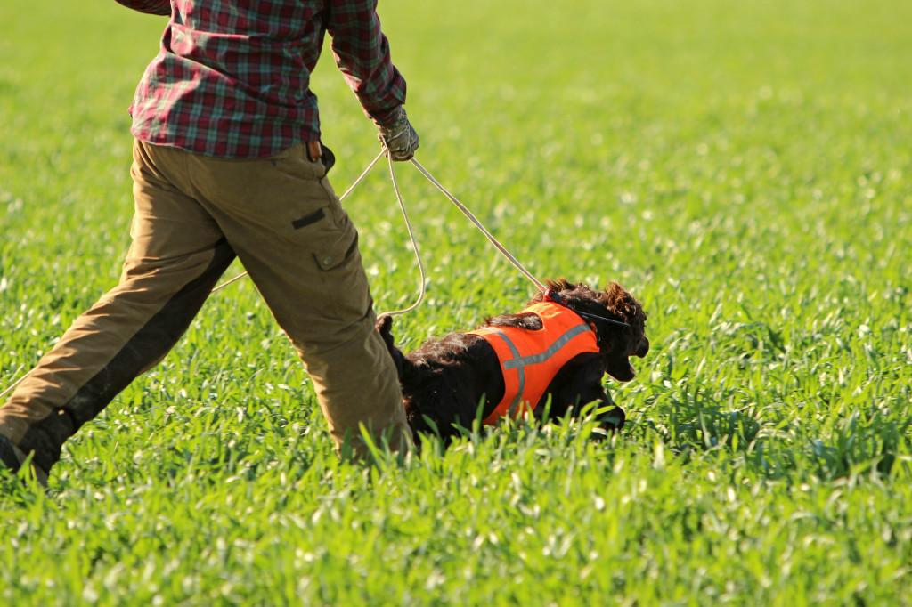 Ansetzen eines Wachtelhundes bei der Hasenspur