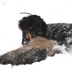 Wachtelhund mit erlegter Sau