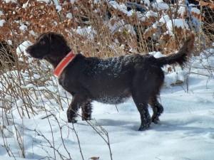 Wachtelhund mit Fuchsbandwurmbefall