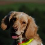 Wachtelhund Dax Indiana