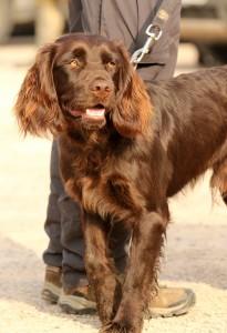 wachtelhund-jugendpruefung-stoeberhund004
