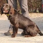 wachtelhund-jugendpruefung-stoeberhund006