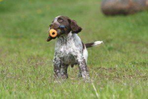 wachtelhund-welpe2