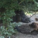 wachtelhund-schwarzwild