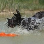 wachtelhund-wasserarbeit