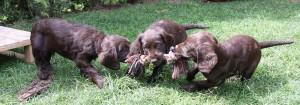 wachtelhund-welpen-slide